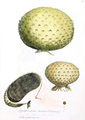 Coloured Figures of English Fungi or Mushrooms - t. 268.png