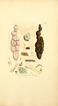Coloured Figures of English Fungi or Mushrooms - t. 400.png