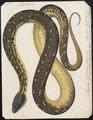 Coluber argus - 1700-1880 - Print - Iconographia Zoologica - Special Collections University of Amsterdam - UBA01 IZ11800197.tif