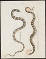 Coluber petholarius - 1734-1765 - Print - Iconographia Zoologica - Special Collections University of Amsterdam - UBA01 IZ11900168.tif