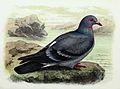 Columba livia 1873.jpg
