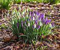 Combinatie Krokus (Crocus) met sneeuwklokje (Galanthus nivalis). Locatie, Tuinreservaat Jonkervallei.jpg