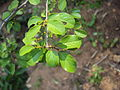 Commiphora wightii 11.JPG