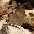 Common Cerulean. Jamides celeno. Lycaenidae. - Flickr - gailhampshire (1).jpg