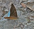 Common Earl (Tanaecia julii) at Jayanti, Duars, West Bengal W IMG 5547.jpg