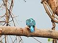 Common Kingfisher (Alcedo atthis)ചെറിയ മീൻകൊത്തി 9.jpg