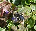 Common Mourning Bee. Melecta albifrons - Flickr - gailhampshire.jpg