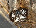 Common Pierrot Castalius rosimon Upperside. IMG 23015 (2). Dombivli, Maharashtra..jpg