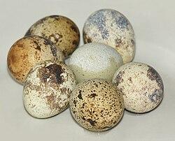 Common Quail eggs.jpg