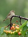 Common Rosefinch (Carpodacus erythrinus) (45718465652).jpg