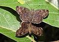 Common Small Flat Sarangesa dasahara mating by Dr. Raju Kasambe DSCN8689 (26).jpg