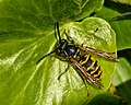 Common Wasp (8344566087).jpg
