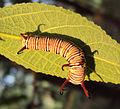 Common crow - Euploea core -caterpillar 2.JPG