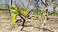 Common persimmon (41054795175).jpg