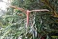 Common plume (FG) (15914188910).jpg