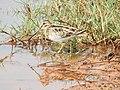 Common snipe-kannur- kattampally@- - 2.jpg