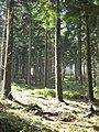 Conifers in Bishop's Wood - geograph.org.uk - 912748.jpg