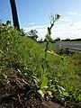 Conringia orientalis sl30.jpg