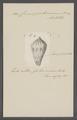 Conus portoricanus - - Print - Iconographia Zoologica - Special Collections University of Amsterdam - UBAINV0274 085 10 0055.tif