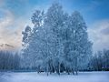 Cool trees under a hoarfrost (8260279020).jpg