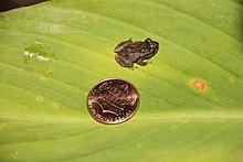 Coqui Frog Puerto Rico.JPG