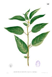 Corchorus acutangulus Blanco1.141