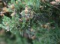 Cordulegaster boltonii (Common Goldenring) - Flickr - S. Rae.jpg