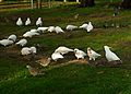 Corellas and doves -Melbourne - feeding-8.jpg