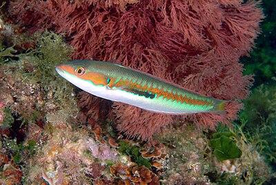 Гетерогаметный самки у рыб