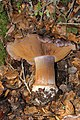 Cortinarius glaucopus group (300459).jpeg