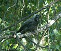 Corvus monedula 008.jpg