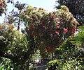 Corymbiaficifolia.jpg