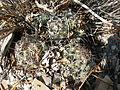 Coryphantha cornifera (5780608322).jpg