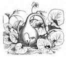 Courge siphon Vilmorin-Andrieux 1883.png