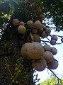 Couroupita guianensis in BTRI7.jpg