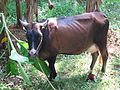 Cow - പശു-1.JPG