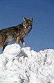 Coyote027 (26901961806).jpg