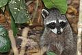 Crab-eating raccoon.JPG
