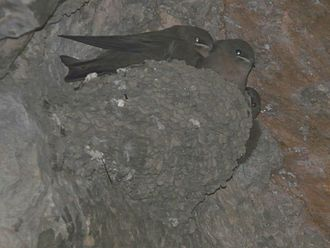 Eurasian crag martin - Nest with young