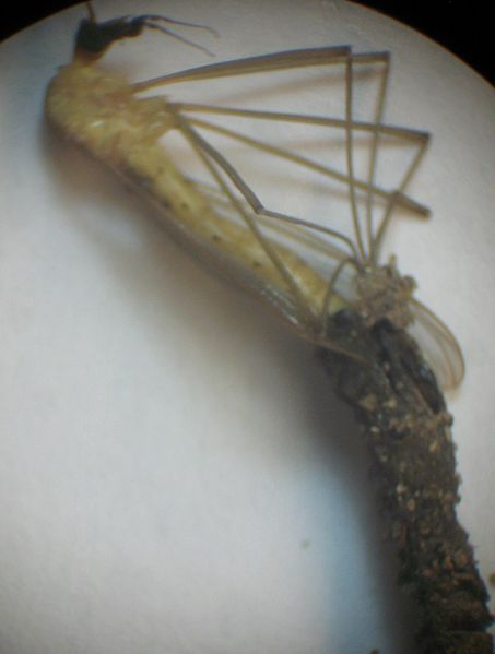 File:Cranefly molting (2) 6june2014.jpg