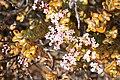Crassula rupestris var. rupestris (Crassulaceae) (37511363966).jpg