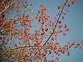 Crataegus pinnatifida fruit, Yongin.jpg