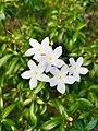 Crepe Jasmine Flower.jpg