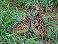 Crested Francolins (Dendroperdix sephaena) (6045912132).jpg