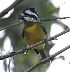 Crested Shrike-Tit kobble09.JPG