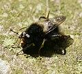 Criorhina ranunculi (male) - Flickr - S. Rae (2).jpg