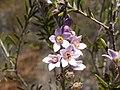 Crowea angustifolia.JPG