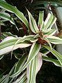 Cryptanthus bromelioides tricolor BotGardBln07122011D.JPG