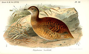 Bartlett's tinamou - Picture by Christopher, 2009