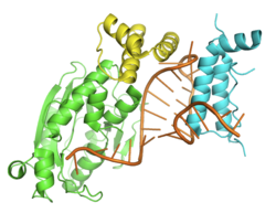 Crystal structure of the histone mRNA stem-loop, human stem-loop binding protein and 3′hExo ternary complex.png